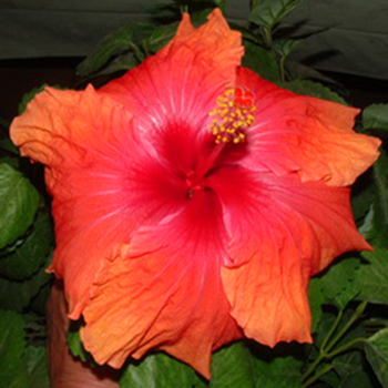 Tropical Hibiscus 'Howard's Stage'