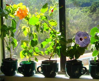 Tropical Hibiscus Houseplants