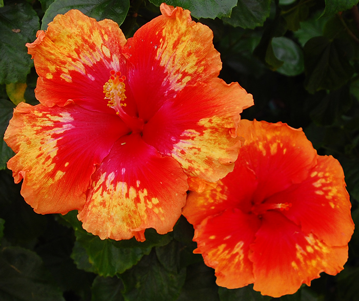 Tropical Hibiscus 'Laguna Beach'