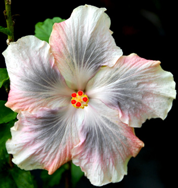 Tropical Hibiscus 'Magic Crystal'