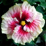 Hibiscus 'Maid of Honor'