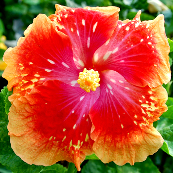 Tropical Hibiscus 'Meteor Shower'