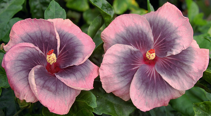 Hibiscus 'Midnight Tryst'