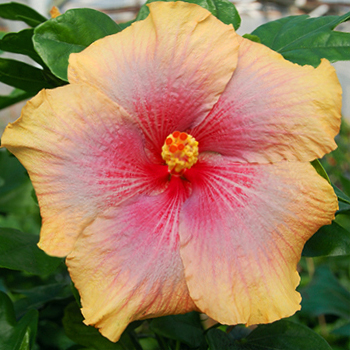 Tropical Hibiscus 'Missing You'