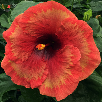 Exotic Hibiscus 'Mission to Mars'