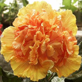 Hibiscus 'Monte Carlo'