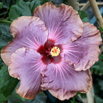Hibiscus 'Moon Madness'