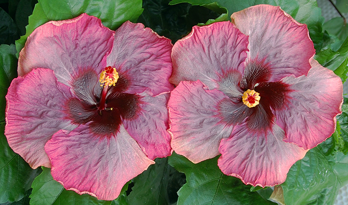 Tropical Hibiscus 'Moon River'