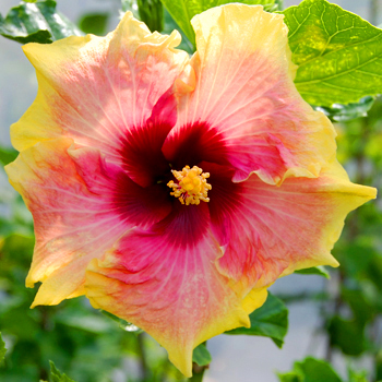 Exotic Hibiscus 'Morning Song'