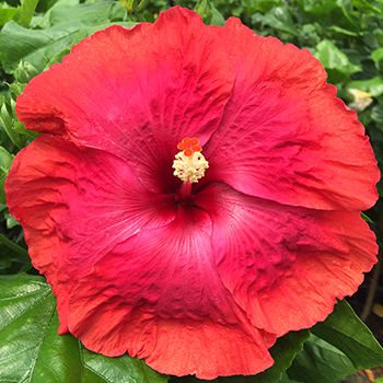 Exotic Hibiscus 'Moulin Rouge'