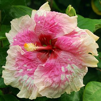Exotic Hibiscus 'Movie Star'