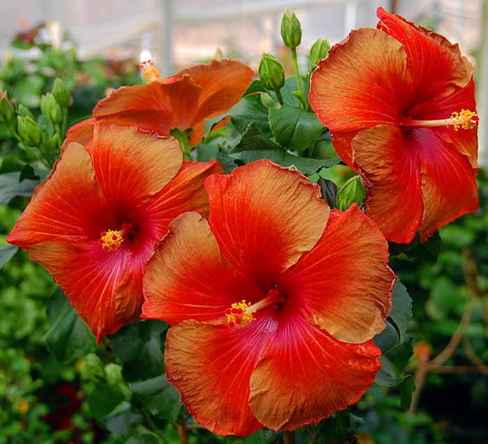 Tropical Hibiscus 'Navajo Mountain'