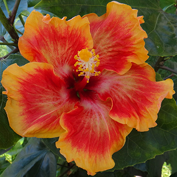 Exotic Hibiscus 'OK Corral'