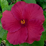 Hibiscus 'Passion Play'