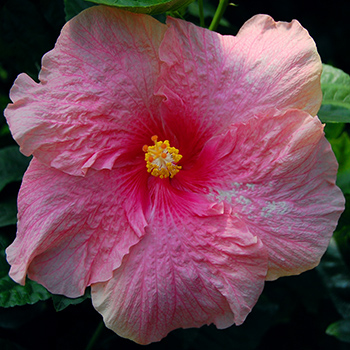 Tropical Hibiscus 'Pink Elephant'