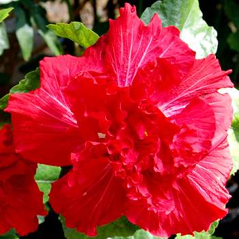 Giant Hibiscus 'Red Flair'