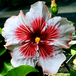 Hibiscus 'Rocket's Red Glare'