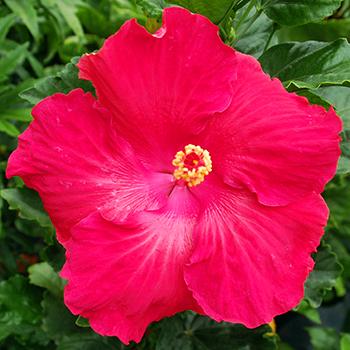 Exotic Hibiscus 'Rose Parade'