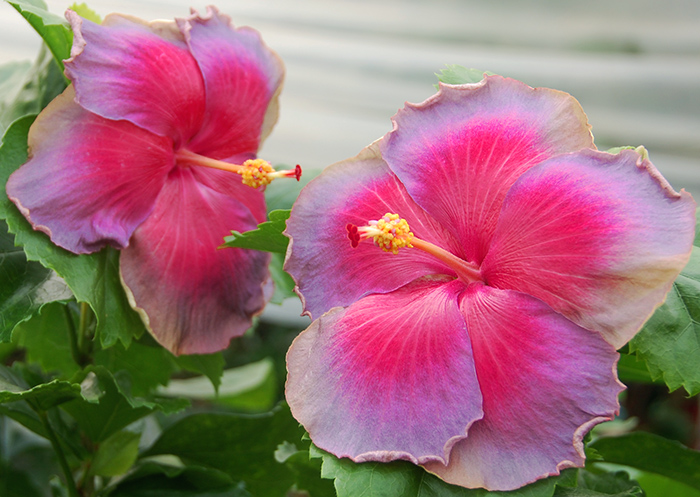 Tropical Hibiscus 'Rosy Sky'