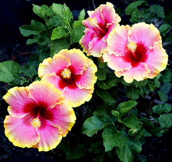 Hidden Valley Hibiscus - Potting & Planting Hibiscus