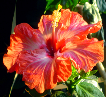 Hibiscus 'Splash!'