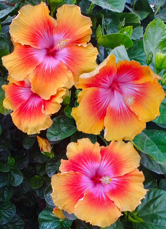 Tropical Hibiscus 'Star Power'