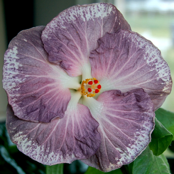 Tropical Hibiscus 'Still Water'