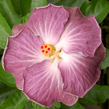 Exotic Hibiscus 'Still Water'