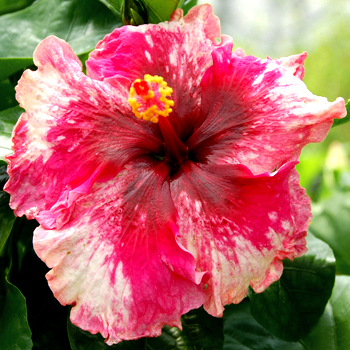 Exotic Hibiscus 'Stormy Heart'