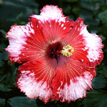 Hibiscus 'Strawberry Fields Forever'