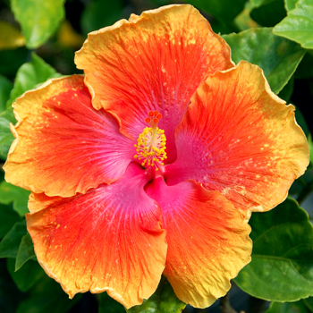 Tropical Hibiscus 'Summer Romance'