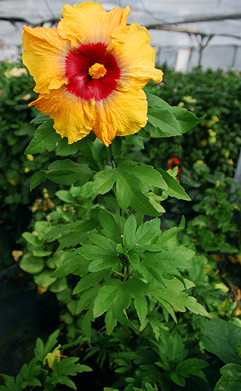 Tropical Hibiscus 'Sunflower'