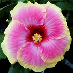 Exotic Hibiscus 'Surf City'