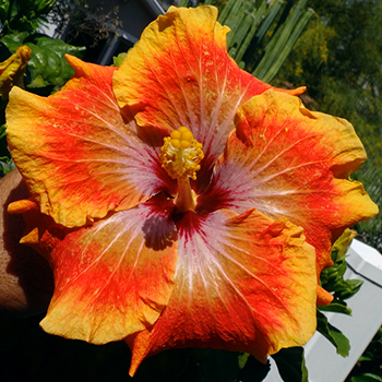 Tropical Hibiscus 'Tahitian Rainbow Odyssey'