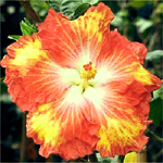 Exotic Hibiscus 'Tangerine Dream'