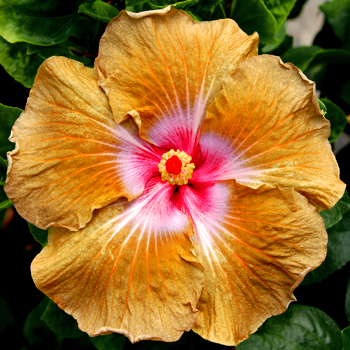 Giant Hibiscus 'Tea and Crumpets'
