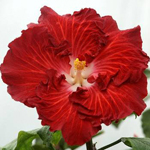 Exotic Hibiscus 'The Right Stuff'