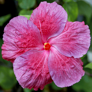 Exotic Hibiscus 'Time for Love'