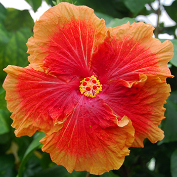 Tropical Hibiscus 'Toast and Jame'
