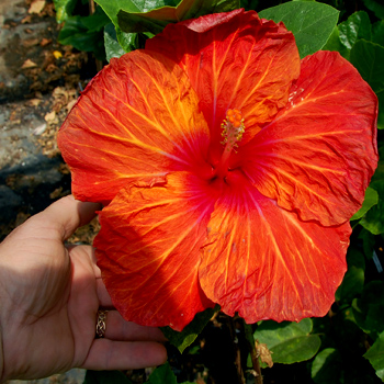 Exotic Hibiscus 'Tony the Tiger'
