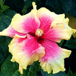 Exotic Hibiscus 'Twice the Fun'