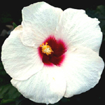 Exotic Hibiscus 'White Satin<'