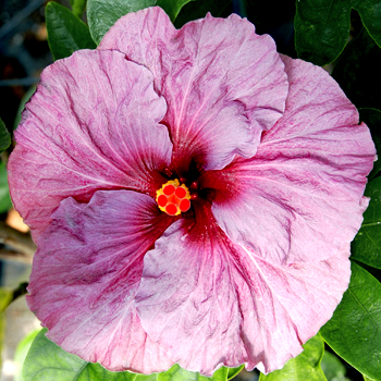Tropical Hibiscus 'Wild Lilac'