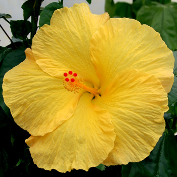 Exotic Hibiscus 'Yellow Fellow'