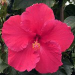 Exotic Hibiscus 'Young at Heart'