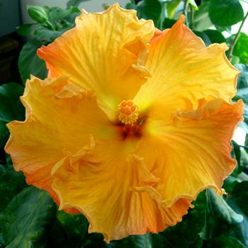 Hibiscus Cosmic Gold